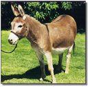 Mini_donkey.jpg