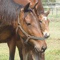 Stbd.mare.foal.heads.jpg