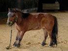 pony-laminitis-stance.jpg