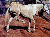stringhalt-horse.jpg