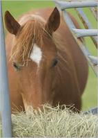 horse.eating.hay.jpg