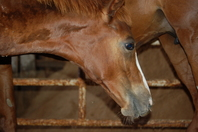 Strangles_foal_swelling_pf.jpg